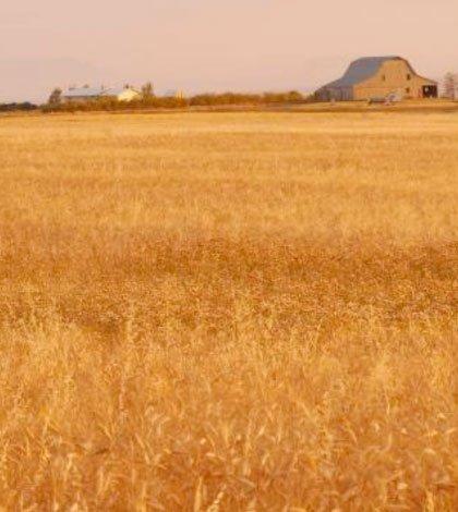 Nuovo studio scientifico: effetti positivi del grano khorasan KAMUT 61 Nuovo studio scientifico: effetti positivi del grano khorasan KAMUT