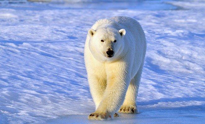 Orso polare addio? Il WWF lancia la campagna a difesa del re dei ghiacci 38 Orso polare addio? Il WWF lancia la campagna a difesa del re dei ghiacci